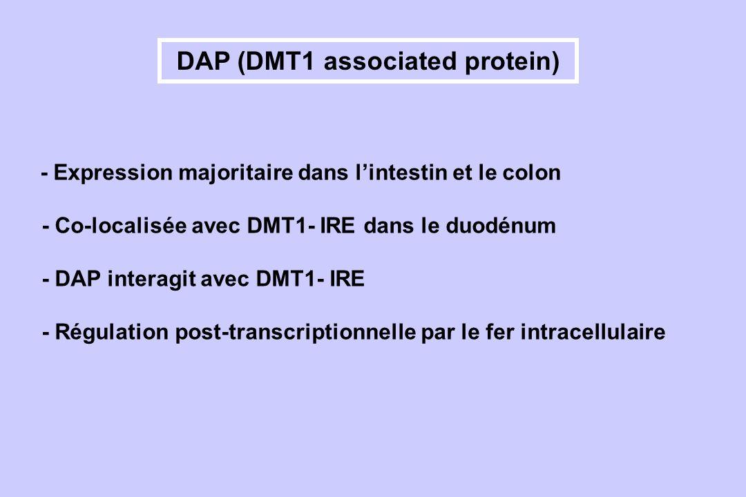 DAP (DMT1 associated protein) - Expression majoritaire dans lintestin et le colon - Co-localisée avec DMT1- IRE dans le duodénum - DAP interagit avec
