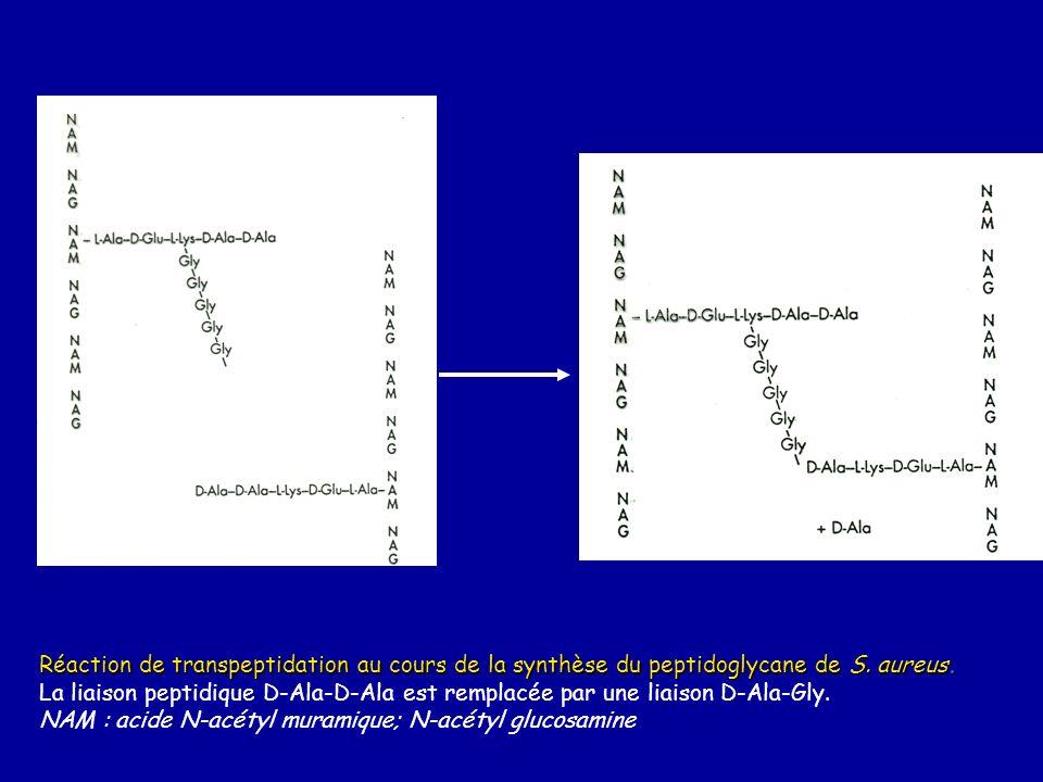 Réaction de transpeptidation au cours de la synthèse du peptidoglycane de S. aureus. La liaison peptidique D-Ala-D-Ala est remplacée par une liaison D