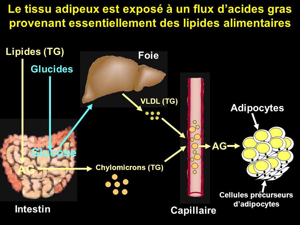 Intestin Lipides (TG) Glucides AG Glucose Foie Capillaire Adipocytes Cellules précurseurs dadipocytes Chylomicrons (TG) AG VLDL (TG) Le tissu adipeux