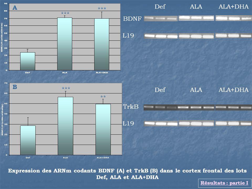 Expression des ARNm codants BDNF (A) et TrkB (B) dans le cortex frontal des lots Def, ALA et ALA+DHA DefALA ALA+DHA BDNF L19 Résultats : partie I A **