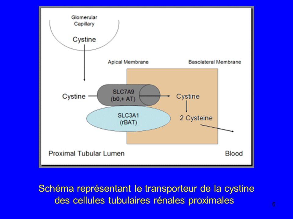 6 Schéma représentant le transporteur de la cystine des cellules tubulaires rénales proximales
