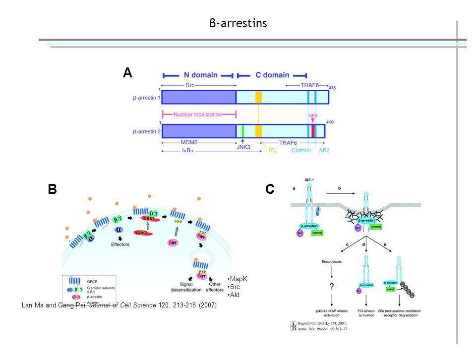 β-arrestins - SiRNA βarrestin 1/2 Actin Control siRNA βarrestin 1/2 siRNA 2,5 fold Expression is reduced by Beta arrestine 2 GFP ezrin Ezrin recruitment 0% 20% 40% 60% 80% 100% Control siRNA Arrestin 1+2 sirRNA FLNA sirRNAGRK2 sirRNA Ezrin