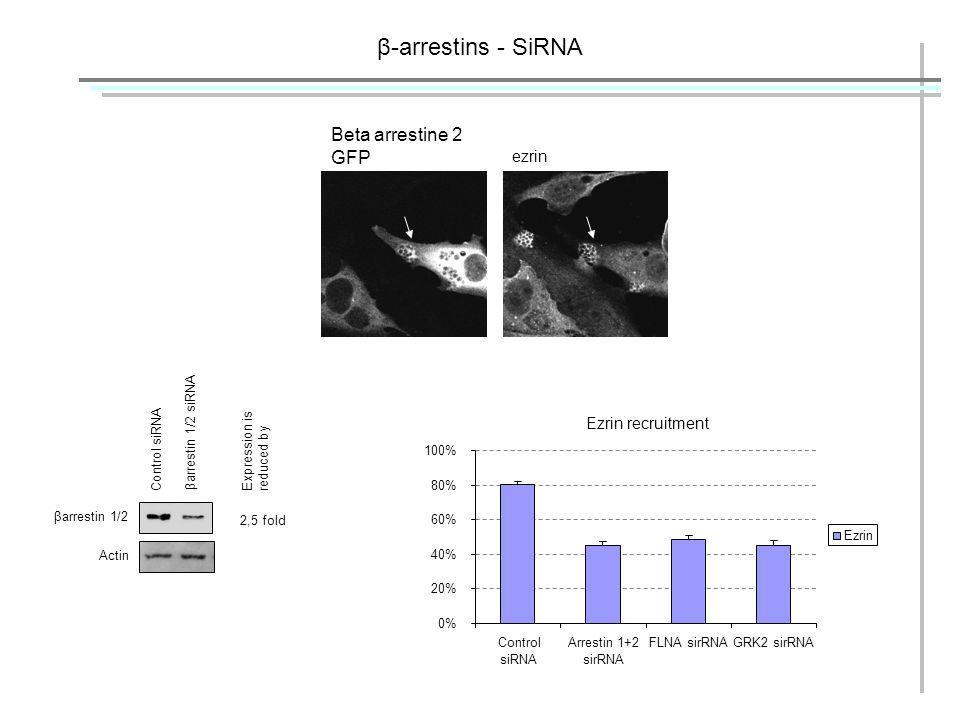 β-arrestins - SiRNA βarrestin 1/2 Filamin A GRK2 Actin Control siRNA βarrestin 1/2 siRNA Filamin A siRNAGRK2 siRNA 2,5 fold Expression is reduced by 7,5 fold 3 fold Beta arrestine 2 GFP ezrin Ezrin recruitment 0% 20% 40% 60% 80% 100% Control siRNA Arrestin 1+2 sirRNA FLNA sirRNAGRK2 sirRNA Ezrin