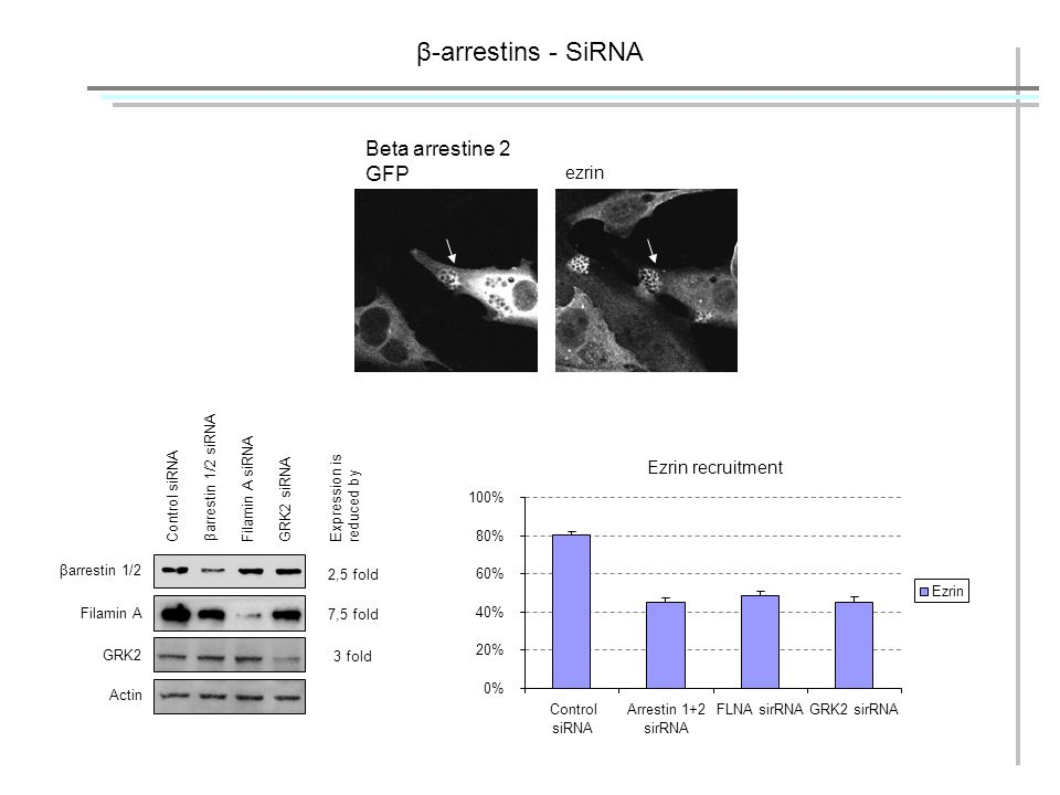 β-arrestins - SiRNA βarrestin 1/2 Filamin A GRK2 Actin Control siRNA βarrestin 1/2 siRNA Filamin A siRNAGRK2 siRNA 2,5 fold Expression is reduced by 7,5 fold 3 fold Beta arrestine 2 GFP ezrin Ezrin recruitment 0% 20% 40% 60% 80% 100% Control siRNA Arrestin 1+2 sirRNA FLNA sirRNAGRK2 sirRNA Ezrin