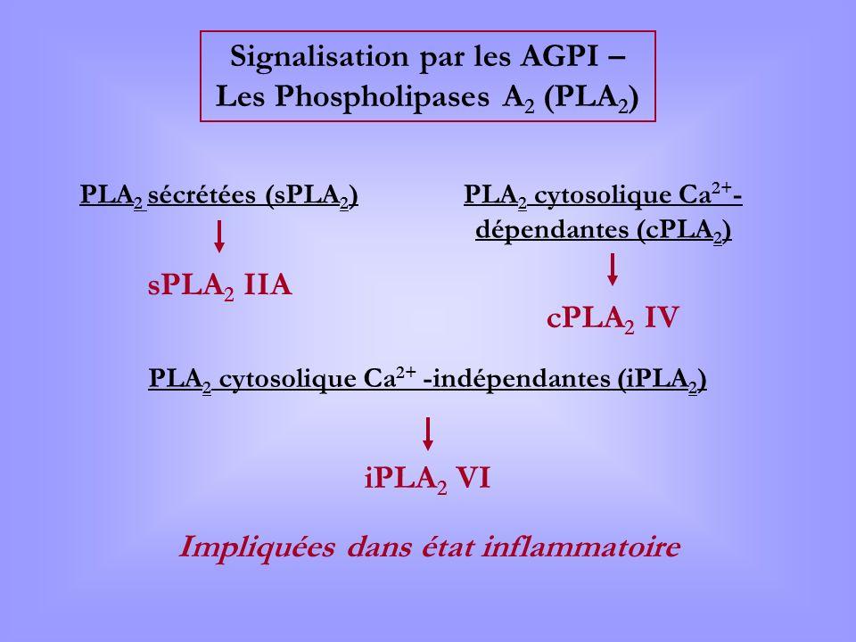 Signalisation par les AGPI – Les Phospholipases A 2 (PLA 2 ) PLA 2 sécrétées (sPLA 2 )PLA 2 cytosolique Ca 2+ - dépendantes (cPLA 2 ) PLA 2 cytosoliqu