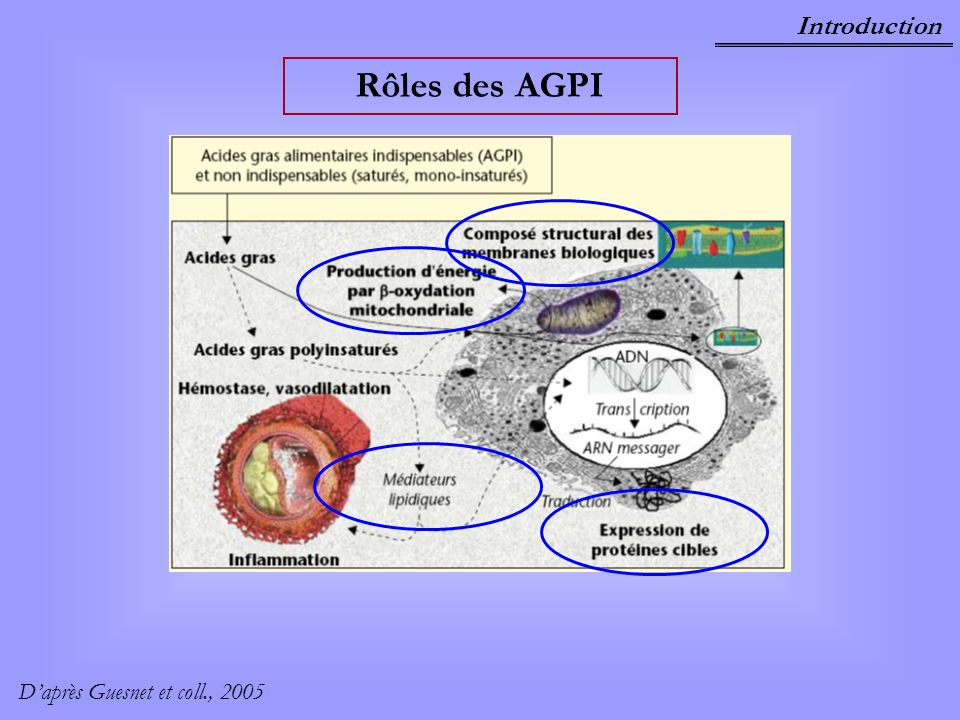 Introduction Signalisation par les AGPI – Les Phospholipases A 2 (PLA 2 ) Catalysent la première étape de synthèse des eicosanoïdes R CO O CH 2 CH2H2 O P CH2H2 O CO R 1 O O O X 1 2 3 PLA 2 Cyclooxygénases (COX) Eicosanoïdes (prostaglandines, thromboxanes) AGPI (DGLA, AA, EPA)