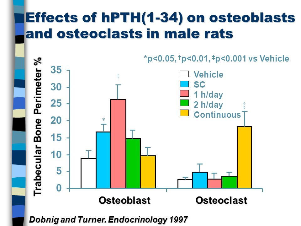 Effects of hPTH(1-34) on osteoblasts and osteoclasts in male rats OsteoblastOsteoclast *p<0.05, p<0.01, p<0.001 vs Vehicle Dobnig and Turner. Endocrin