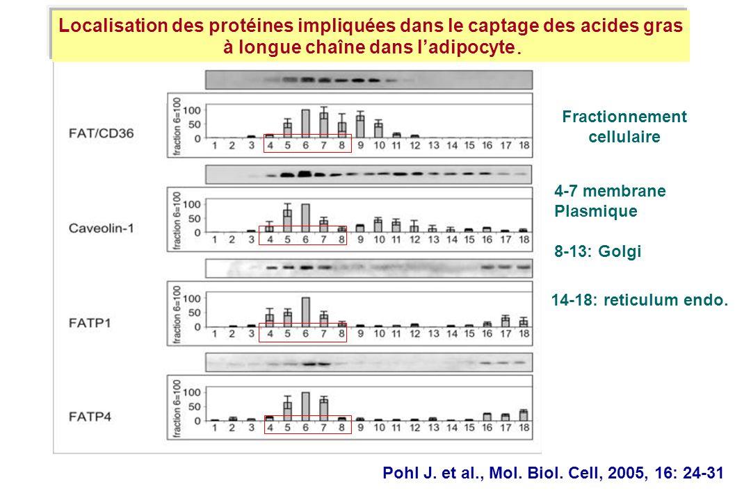 Pohl J. et al., Mol. Biol. Cell, 2005, 16: 24-31 Localisation des protéines impliquées dans le captage des acides gras à longue chaîne dans ladipocyte