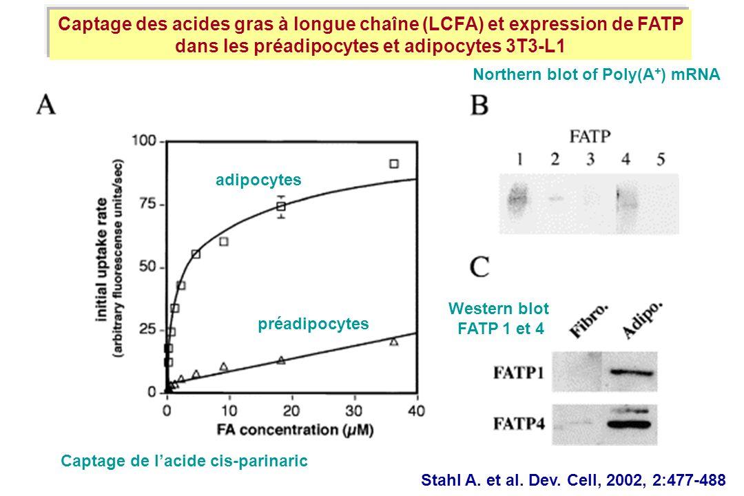 Captage des acides gras à longue chaîne (LCFA) et expression de FATP dans les préadipocytes et adipocytes 3T3-L1 Western blot FATP 1 et 4 Northern blo