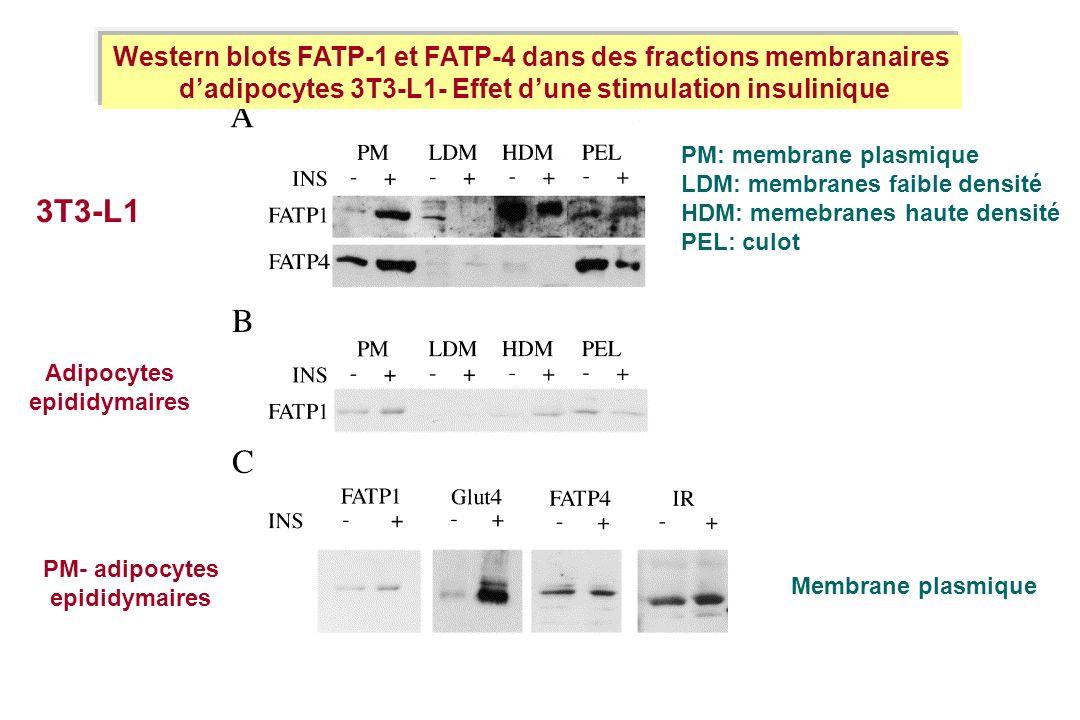 Western blots FATP-1 et FATP-4 dans des fractions membranaires dadipocytes 3T3-L1- Effet dune stimulation insulinique PM: membrane plasmique LDM: memb