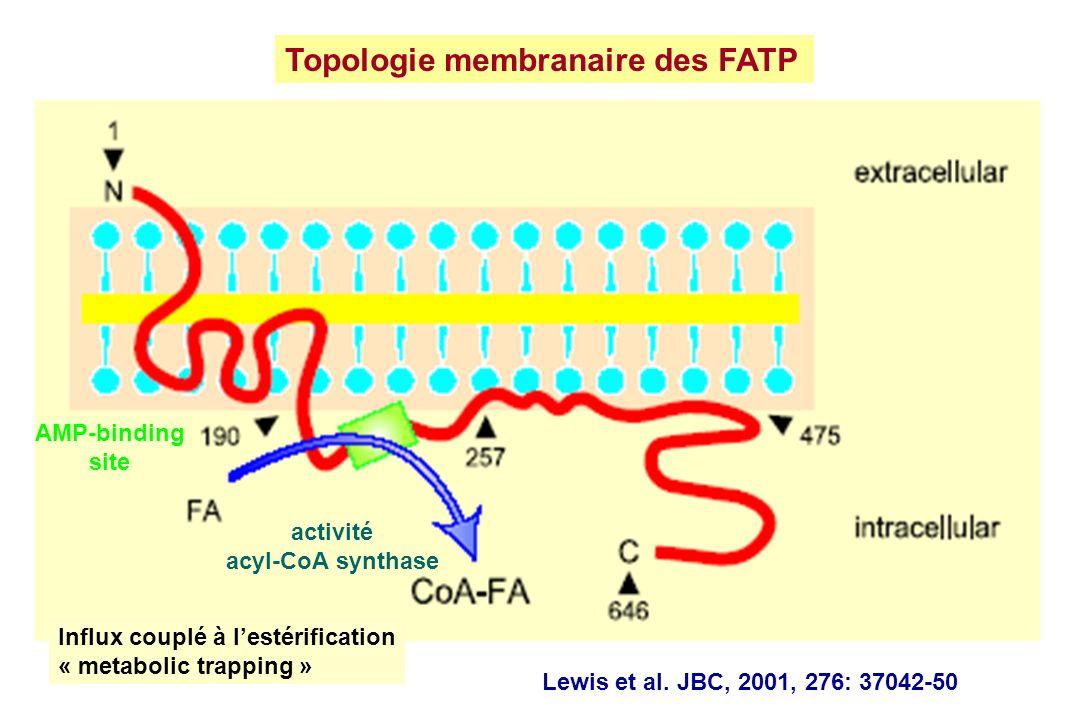 Topologie membranaire des FATP activité acyl-CoA synthase Lewis et al. JBC, 2001, 276: 37042-50 Influx couplé à lestérification « metabolic trapping »