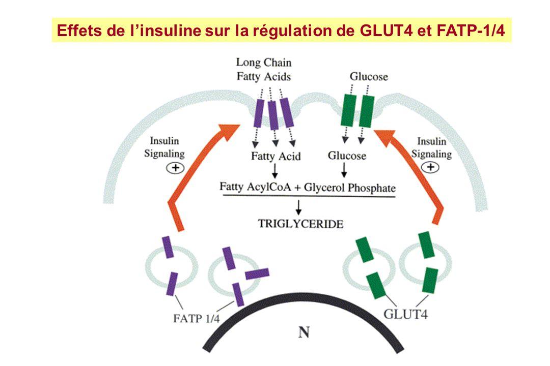 Effets de linsuline sur la régulation de GLUT4 et FATP-1/4