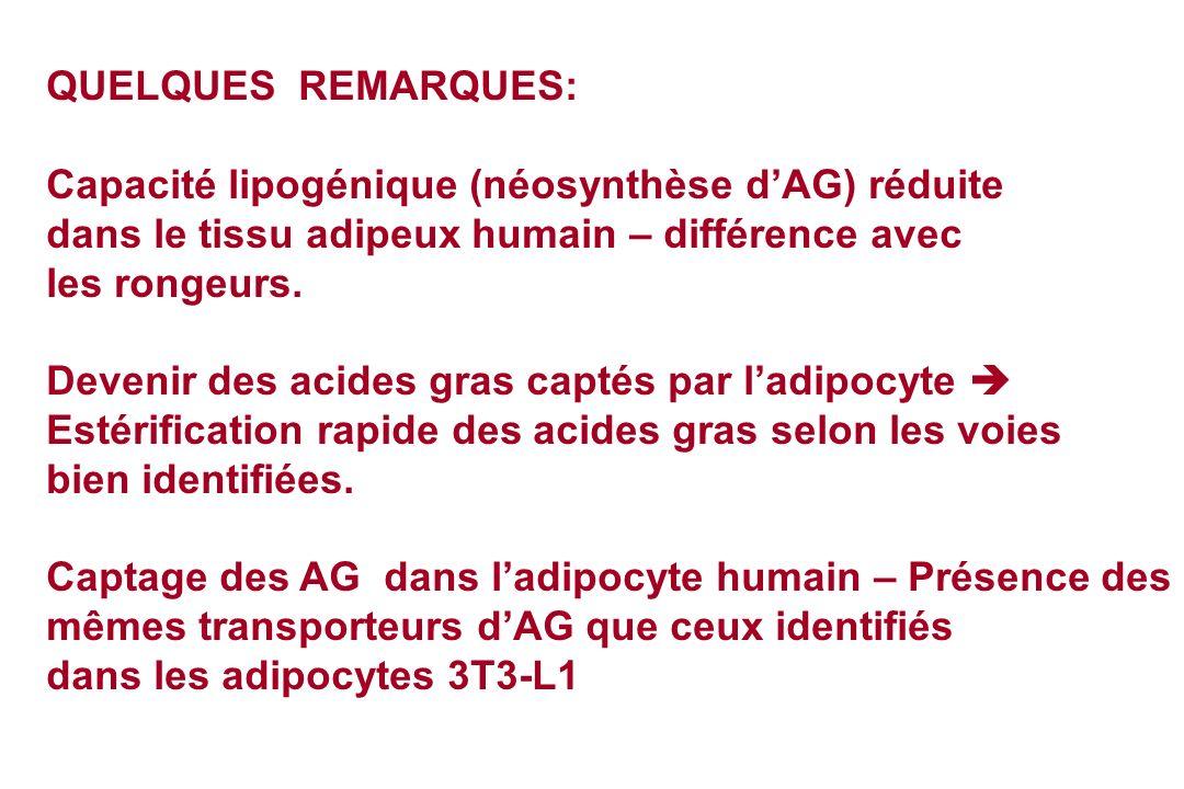 QUELQUES REMARQUES: Capacité lipogénique (néosynthèse dAG) réduite dans le tissu adipeux humain – différence avec les rongeurs. Devenir des acides gra