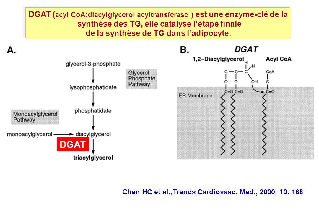 Chen HC et al.,Trends Cardiovasc. Med., 2000, 10: 188 DGAT ( acyl CoA:diacylglycerol acyltransferase ) est une enzyme-clé de la synthèse des TG, elle