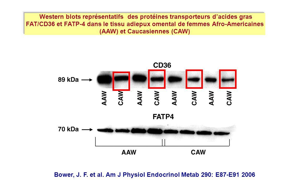 Bower, J. F. et al. Am J Physiol Endocrinol Metab 290: E87-E91 2006 Western blots représentatifs des protéines transporteurs dacides gras FAT/CD36 et