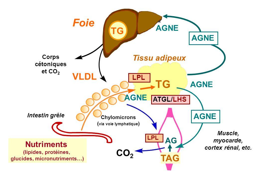 Foie Corps cétoniques et CO 2 VLDL Tissu adipeux TG LPL Intestin grêle Muscle, myocarde, cortex rénal, etc. CO 2 AGNE Chylomicrons ( via voie lymphati