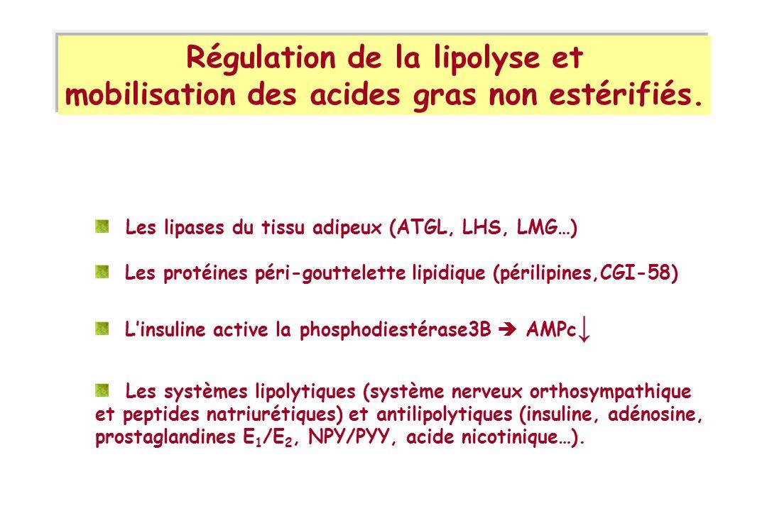 Régulation de la lipolyse et mobilisation des acides gras non estérifiés. Les lipases du tissu adipeux (ATGL, LHS, LMG…) Les protéines péri-gouttelett