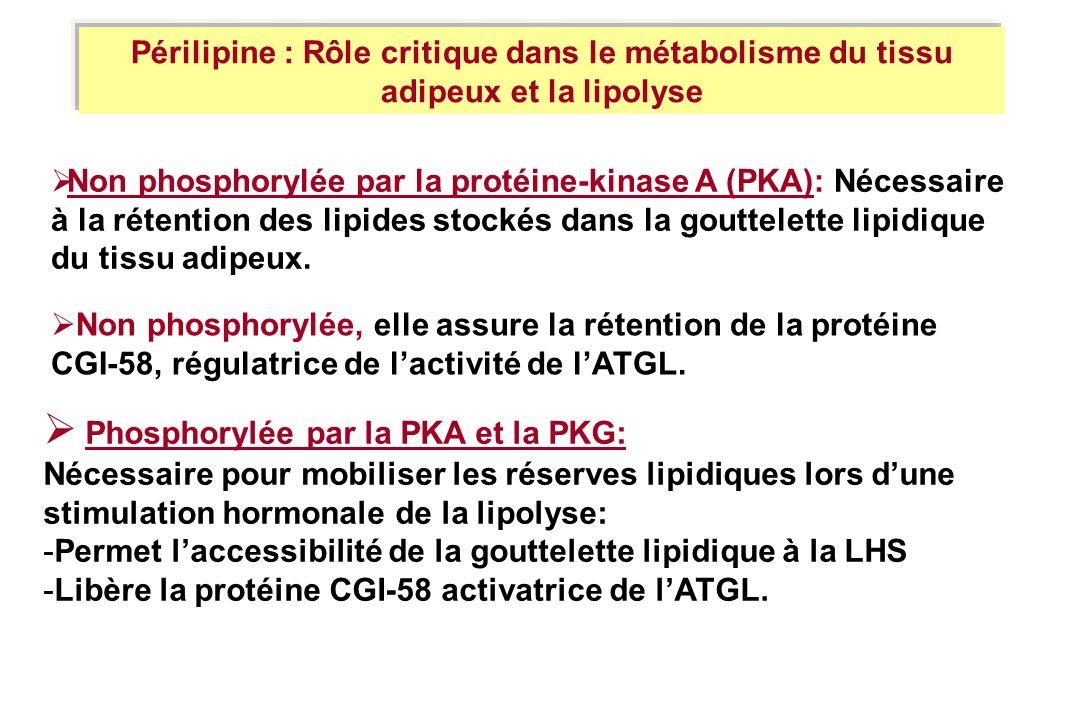Non phosphorylée par la protéine-kinase A (PKA): Nécessaire à la rétention des lipides stockés dans la gouttelette lipidique du tissu adipeux. Phospho