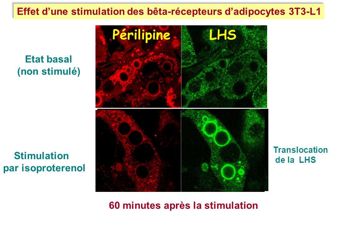 Effet dune stimulation des bêta-récepteurs dadipocytes 3T3-L1 Périlipine LHS Etat basal (non stimulé) 60 minutes après la stimulation Stimulation par
