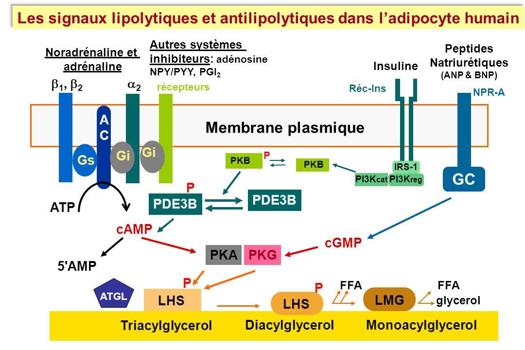 1, 2 2 cAMP ATP 5'AMP LHS Triacylglycerol LMG ACAC Noradrénaline et adrénaline Gs LHS P FFA glycerol Membrane plasmique P Insuline PDE3B IRS-1 PI3K re