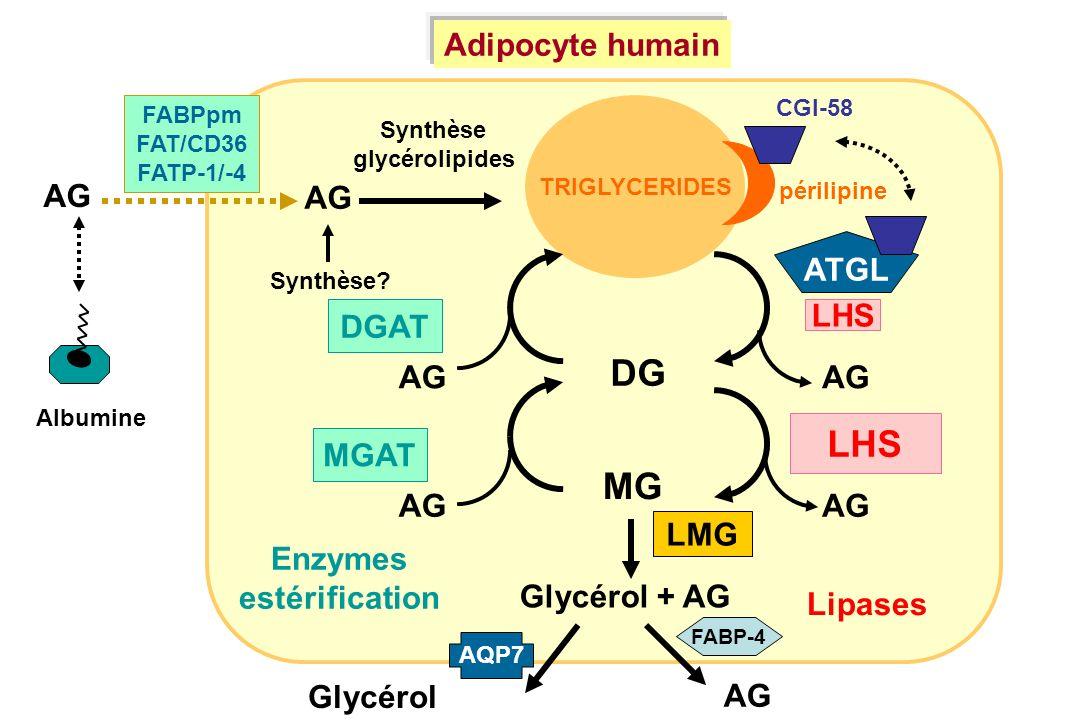 TRIGLYCERIDES AG Synthèse? Synthèse glycérolipides Albumine AG DG MG AG Glycérol MGAT DGAT ATGL LHS LMG Glycérol + AG périlipine CGI-58 Adipocyte huma