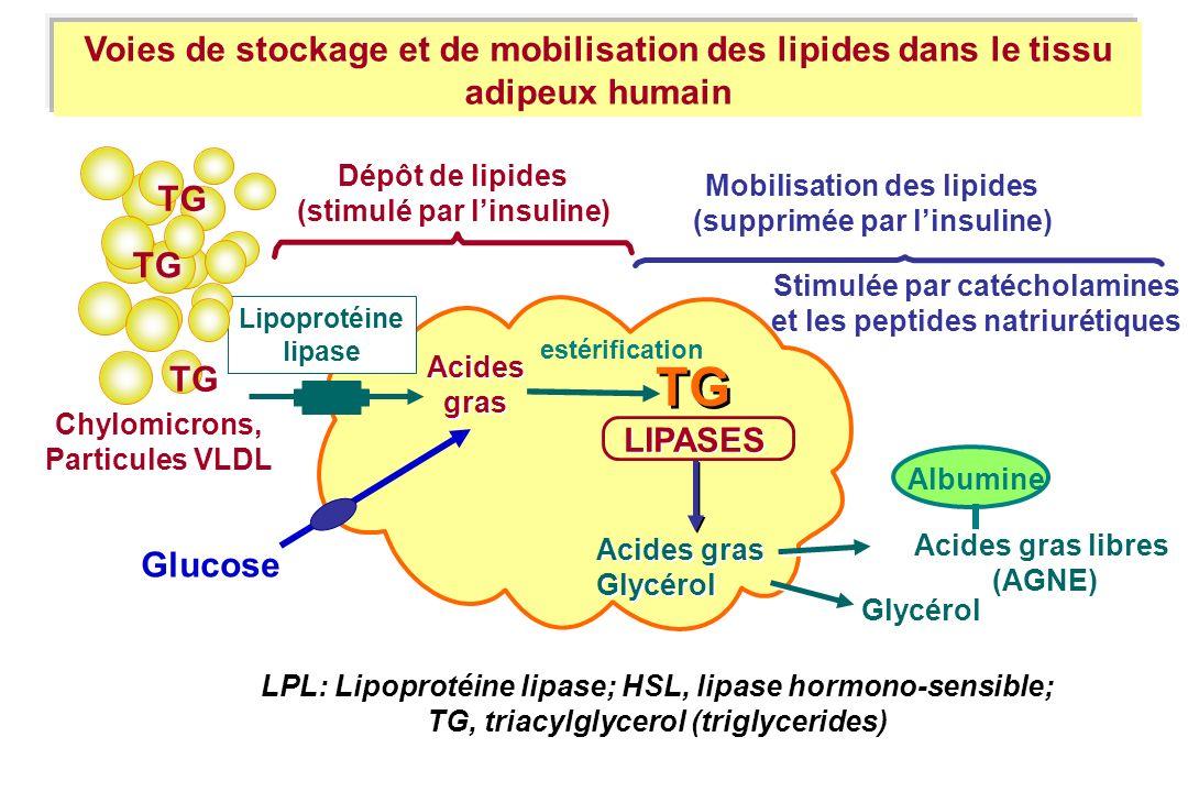 Acides gras Acides gras TG LIPASES Acides gras Glycérol Acides gras Glycérol Acides gras libres (AGNE) Albumine Dépôt de lipides (stimulé par linsulin