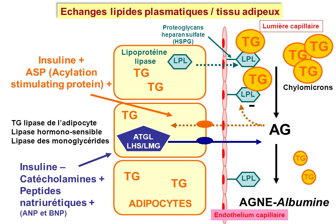 AG AGNE-Albumine TG ATGL LHS/LMG ADIPOCYTES TG LPL - Insuline + ASP (Acylation stimulating protein) + Insuline – Catécholamines + Peptides natriurétiq
