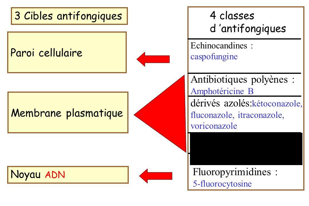 3 Cibles antifongiques Paroi cellulaire Membrane plasmatique Noyau ADN Echinocandines : caspofungine Antibiotiques polyènes : Amphotéricine B dérivés