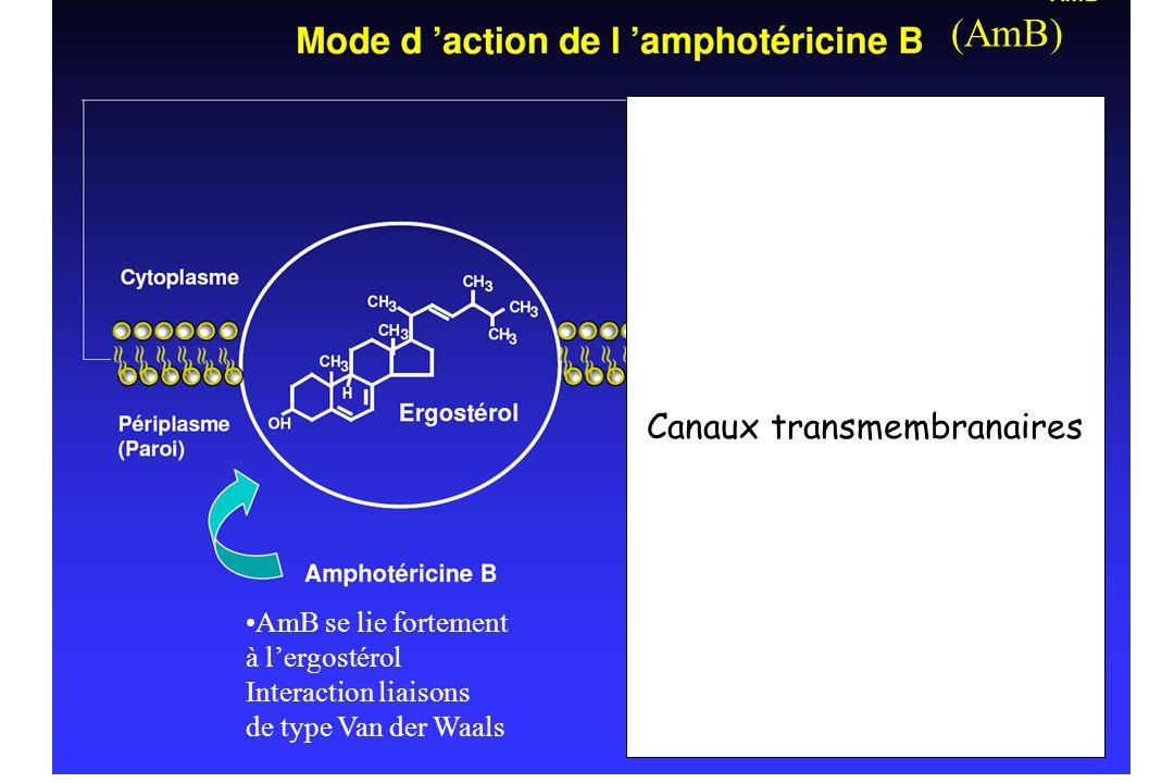 AmB se lie fortement à lergostérol Interaction liaisons de type Van der Waals Canaux transmembranaires (AmB) Canaux transmembranaires