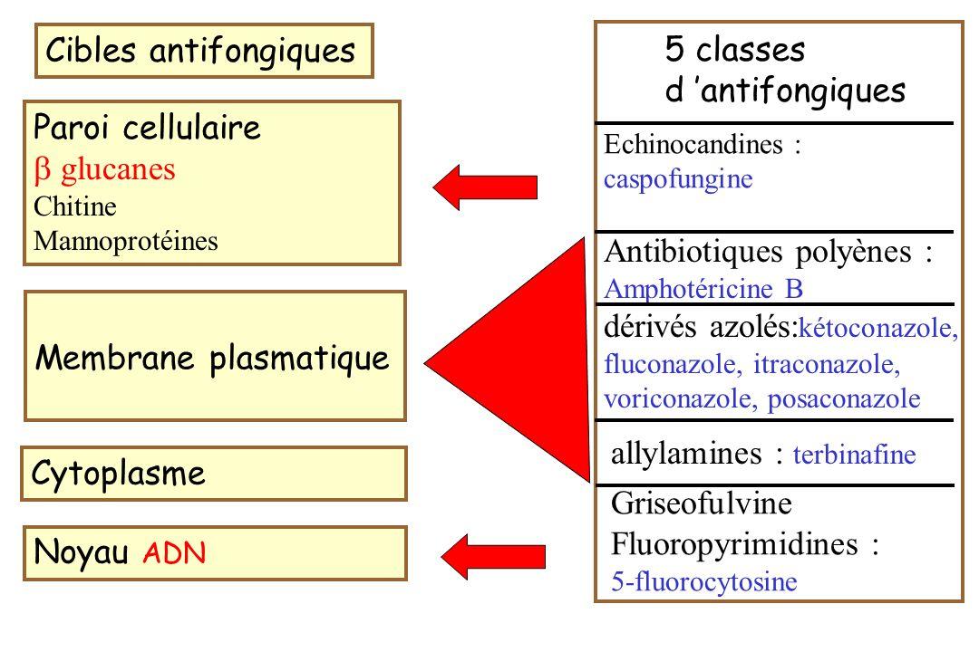 conséquence 1 hétérogénéité vis-à-vis de la spécificité de l interaction avec les enzymes de la biosynthèse de l ergostérol Imidazolés : inhibent X enzymes cytochrome P-450 dépendant et la voie de synthèse des lipides voriconazole : inhibition enzymes en amont de la C 14 -déméthylase Itraconazole : inhibition 3-kétoréductase Conséquence 2 spectre antifongique différent +++ fluconazole : spectre étroit levures : Candida et Cryptococcus neoformans kétoconazole, itraconazole, voriconazole : spectre large levures, champignons filamenteux : Aspergillus, Scedosporum, Fusarium quelques champignons dimorphiques tropicaux Les azolés ont des structures chimiques très différentes