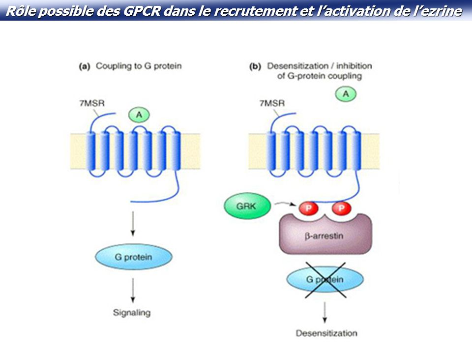 GRK2 est capable de phosphoryler lezrine sur son site « habituel » dactivation in vitro.