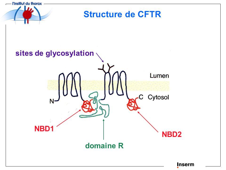 noyau RE golgi Pôle apical Pôle basolatéral Cl - CFTR CFTR : canal chlorure localisé à la membrane apicale