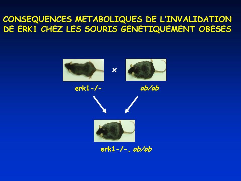 ob/ob erk1-/-, ob/ob erk1-/- x CONSEQUENCES METABOLIQUES DE LINVALIDATION DE ERK1 CHEZ LES SOURIS GENETIQUEMENT OBESES