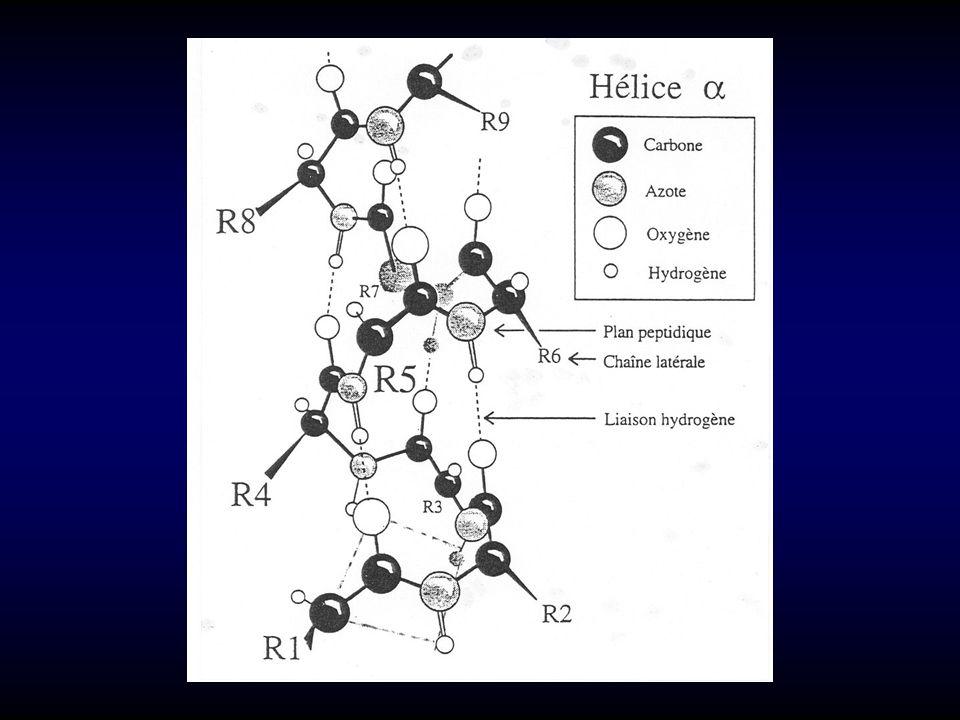 3-FEUILLET -conformation : modèle -kératine ( - 40°, + 60°) -associations de brins en feuillet : liaisons H parallèle ou anti-parallèle (+ stable) -« épingles à cheveux » type I et II (Gly); coude -AA favorisant 4-STRUCTURES NON PÉRIODIQUES -coudes (2 re apériodique) : cis-Pro (6 %) sites de modifications post-traductionnelles (P, chaînes glycaniques…) -plus rarement : hélice 3,6 - 13 gauche hélice (liaison H/n + 5) hélice 3 - 10 (liaison H/n + 3, 3 résidus/tour) -AA favorisant