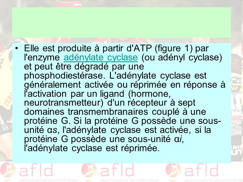 Elle est produite à partir d'ATP (figure 1) par l'enzyme adénylate cyclase (ou adényl cyclase) et peut être dégradé par une phosphodiestérase. L'adény