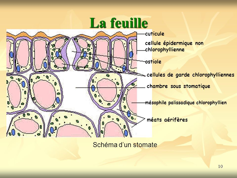 10 La feuille Schéma dun stomate cuticule cellule épidermique non chlorophyllienne cellules de garde chlorophylliennes ostiole chambre sous stomatique