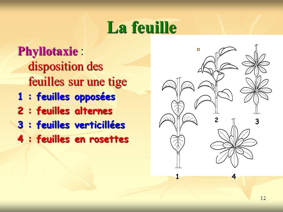 12 La feuille Phyllotaxie : disposition des feuilles sur une tige 1 : feuilles opposées 2 : feuilles alternes 3 : feuilles verticillées 4 : feuilles e