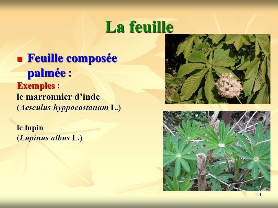 14 La feuille Feuille composée palmée : Exemples : le marronnier dinde (Aesculus hyppocastanum L.) le lupin (Lupinus albus L.)