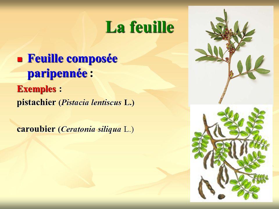15 La feuille Feuille composée paripennée : Exemples : pistachier (Pistacia lentiscus L.) caroubier (Ceratonia siliqua L.)