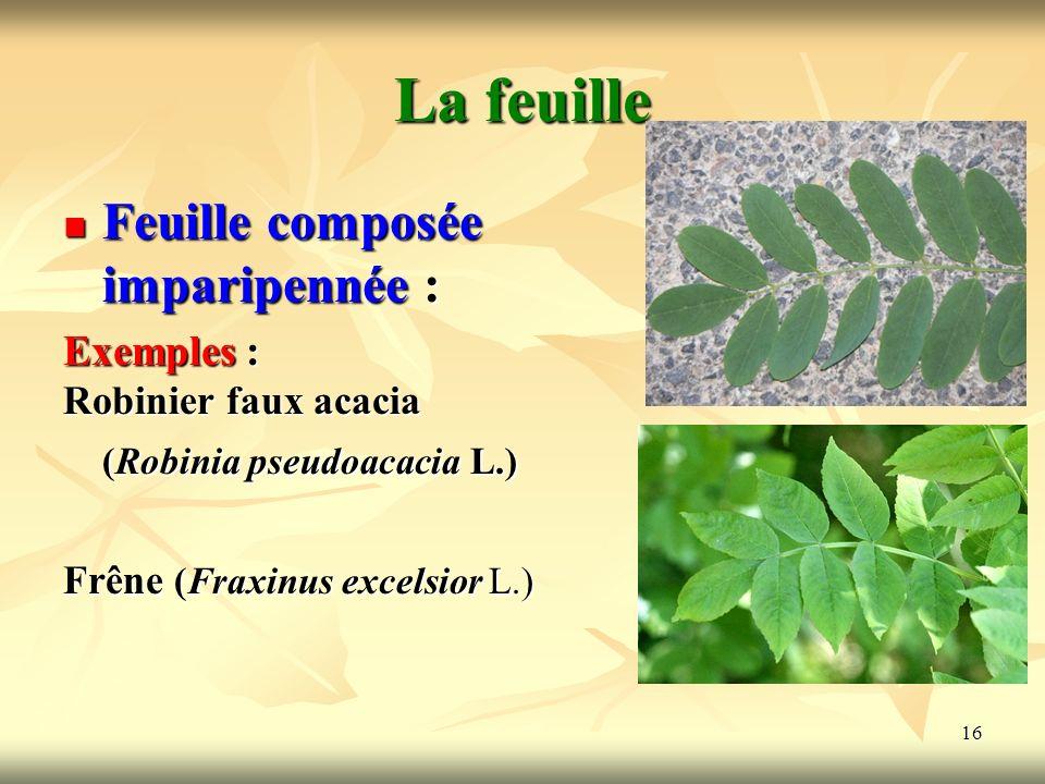 16 La feuille Feuille composée imparipennée : Exemples : Robinier faux acacia (Robinia pseudoacacia L.) Frêne (Fraxinus excelsior L.)