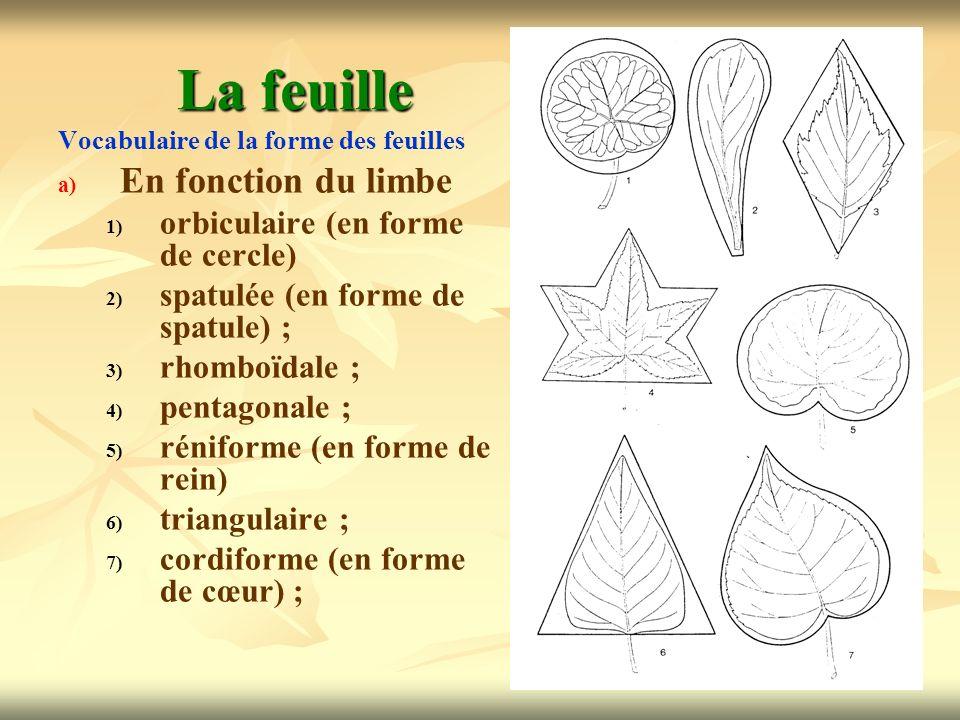 17 La feuille Vocabulaire de la forme des feuilles a) a) En fonction du limbe 1) 1) orbiculaire (en forme de cercle) 2) 2) spatulée (en forme de spatu
