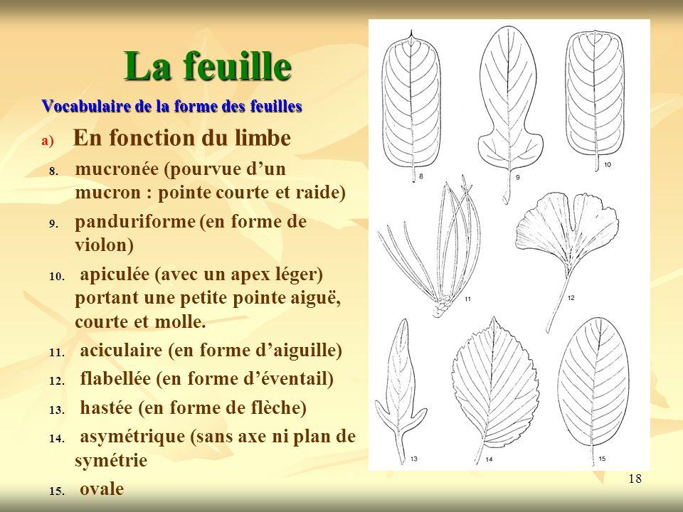 18 La feuille Vocabulaire de la forme des feuilles a) a) En fonction du limbe 8. 8. mucronée (pourvue dun mucron : pointe courte et raide) 9. 9. pandu