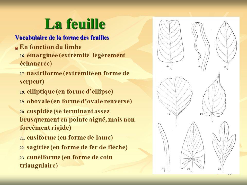 19 La feuille Vocabulaire de la forme des feuilles a) a) En fonction du limbe 16. 16. émarginée (extrémité légèrement échancrée) 17. 17. nastriforme (