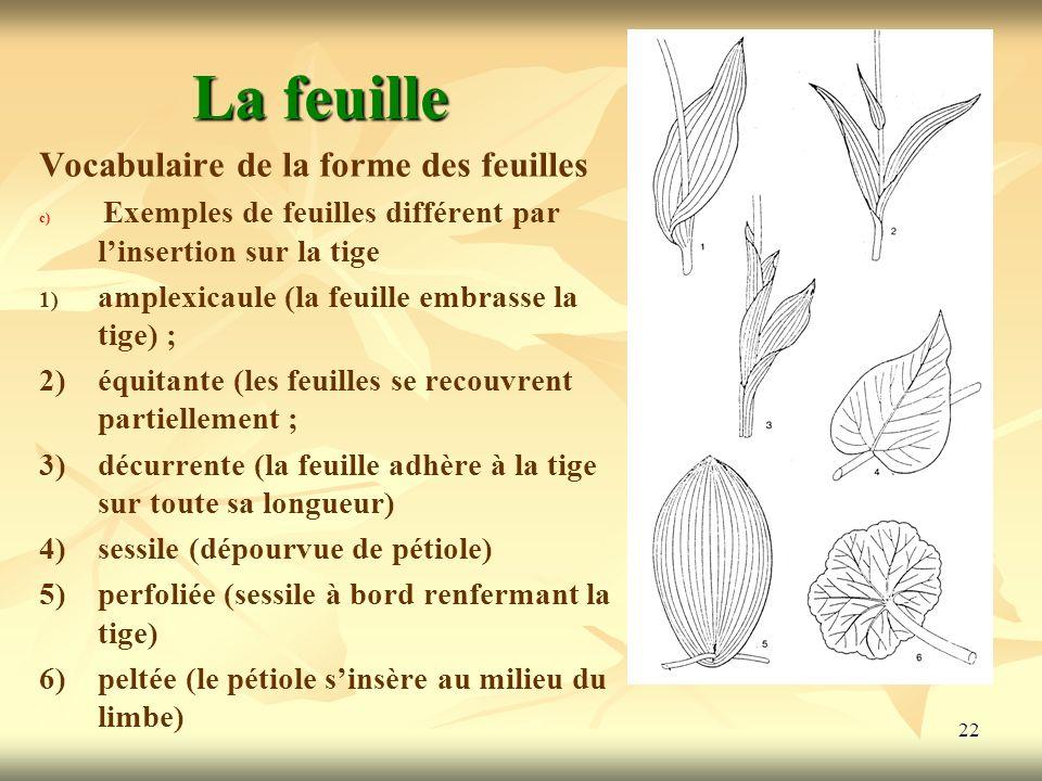22 La feuille Vocabulaire de la forme des feuilles c) c) Exemples de feuilles différent par linsertion sur la tige 1) amplexicaule (la feuille embrass