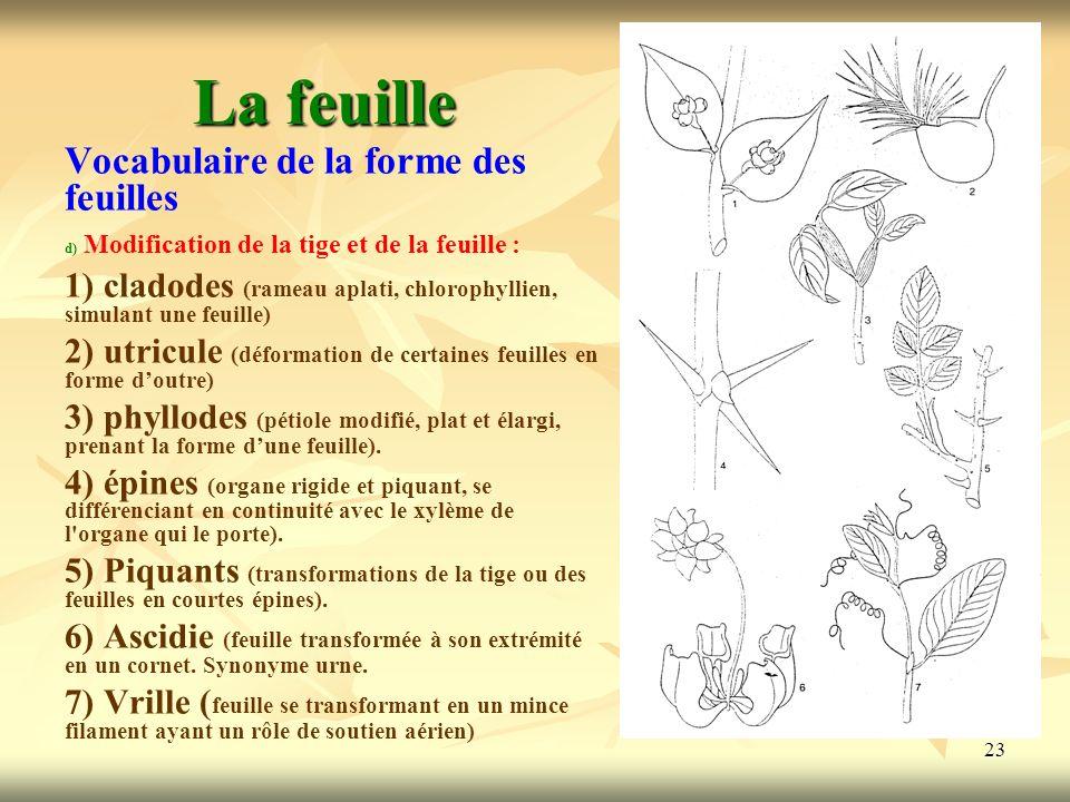 23 La feuille Vocabulaire de la forme des feuilles d) d) Modification de la tige et de la feuille : 1) cladodes (rameau aplati, chlorophyllien, simula