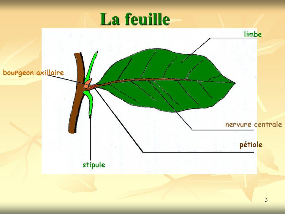 3 stipule bourgeon axillaire limbe nervure centrale pétiole La feuille