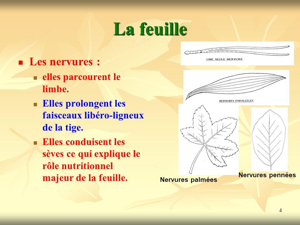 4 Les nervures : elles parcourent le limbe. Elles prolongent les faisceaux libéro-ligneux de la tige. Elles conduisent les sèves ce qui explique le rô