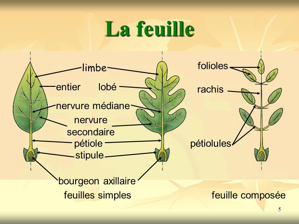 5 La feuille limbe entierlobé nervure médiane nervure secondaire pétiole stipule bourgeon axillaire feuilles simples rachis folioles pétiolules feuill