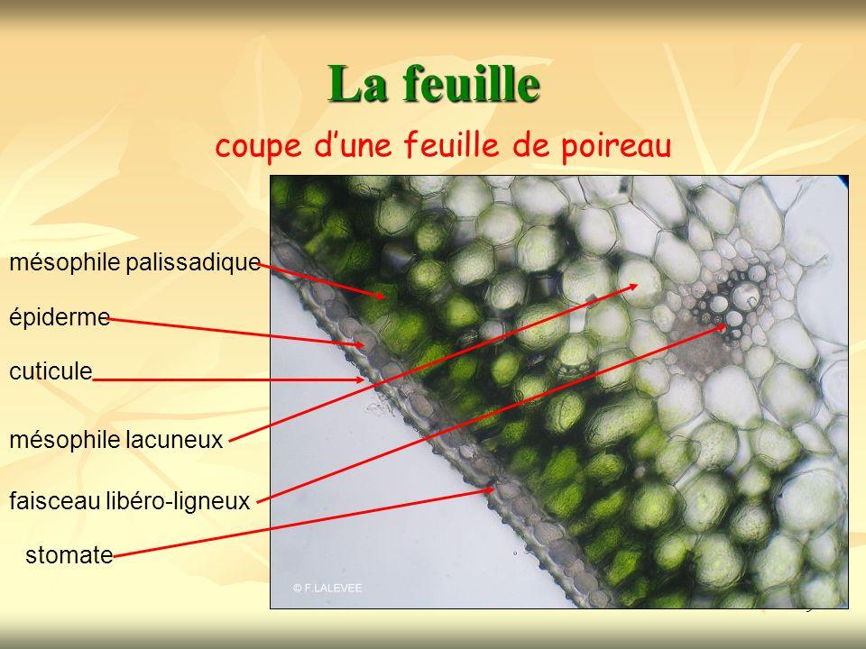 10 La feuille Schéma dun stomate cuticule cellule épidermique non chlorophyllienne cellules de garde chlorophylliennes ostiole chambre sous stomatique mésophile palissadique chlorophyllien méats aérifères