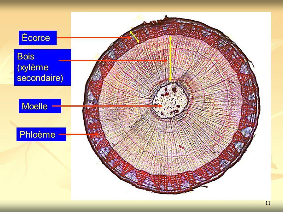 11 Écorce Bois (xylème secondaire) Moelle Phloème11